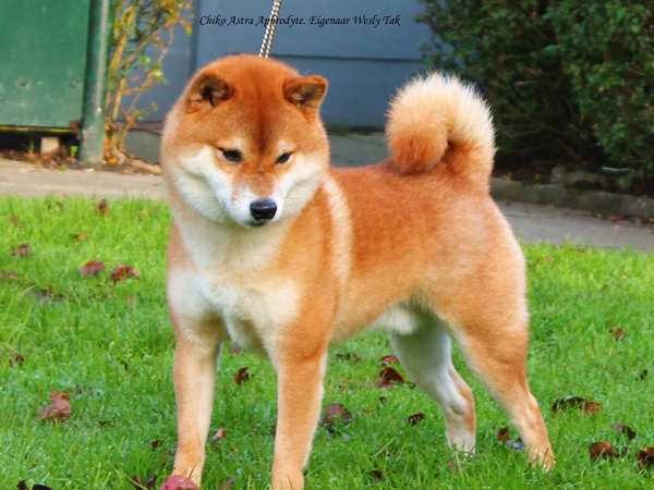 pup en herplaatsers te koop shiba inu | startpunthonden