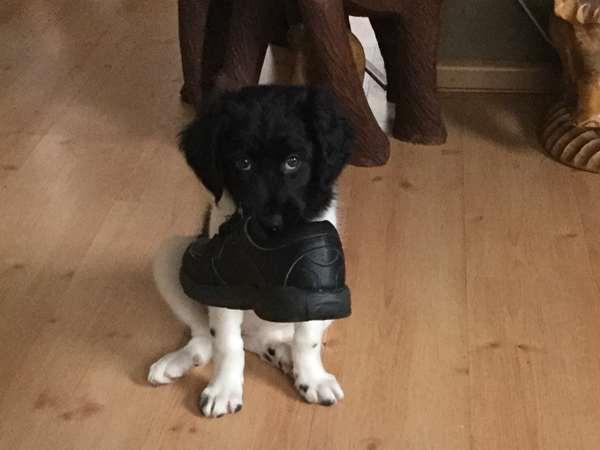 Boston Terrier Boxer Mix Deel jouw foto van van...
