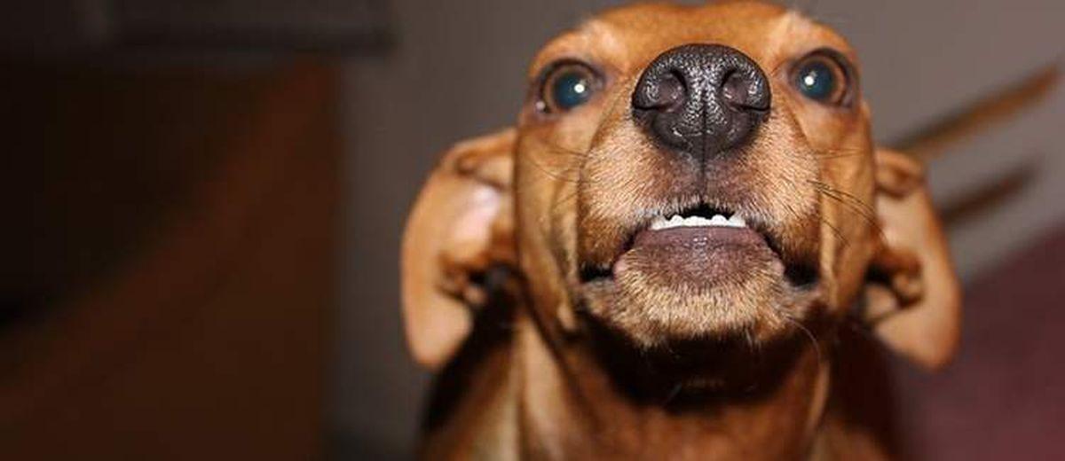 Waarom zijn kleine honden vaak zo fel   Startpunthonden