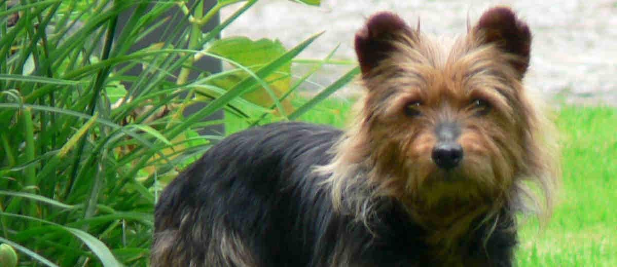 Cairn Terrier- Karakter, opvoeden, gedrag en meer op Startpunthonden