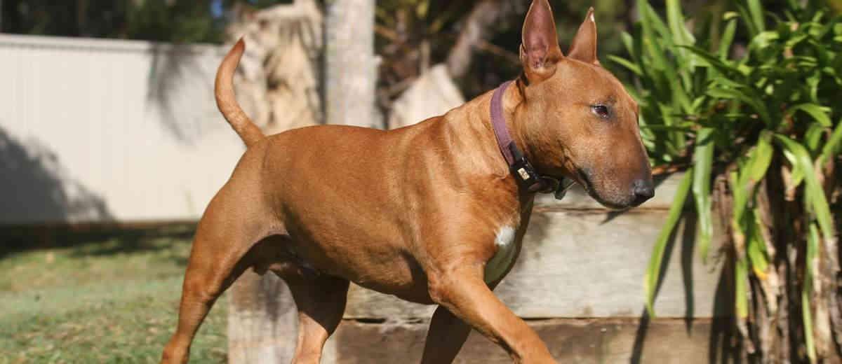 Bull Terrier- Karakter, opvoeden, gedrag en meer op Startpunthonden