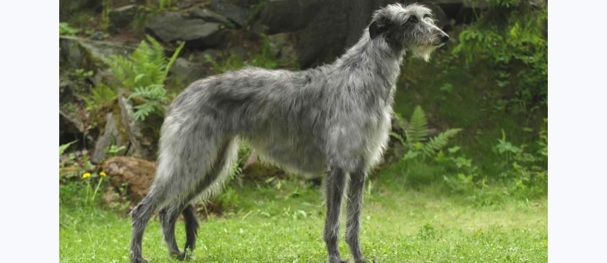 Ziektes en gezondheidsproblemen bij de Schotse Deerhound ...  Deerhound