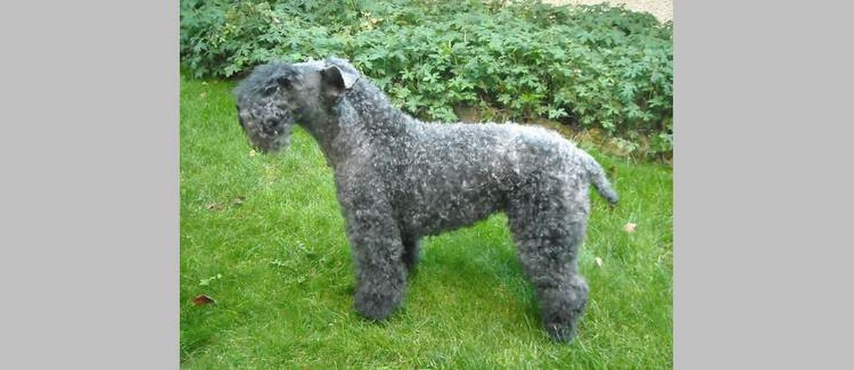 Kerry blue terrier te koop