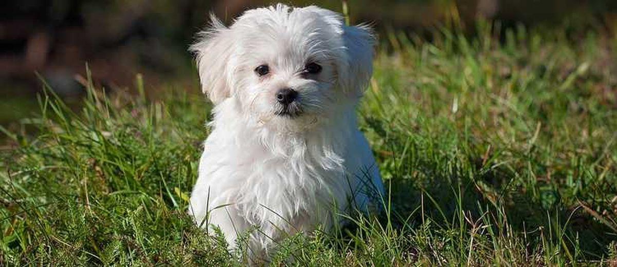 maltezer - karakter, opvoeden, gedrag en meer op startpunthonden