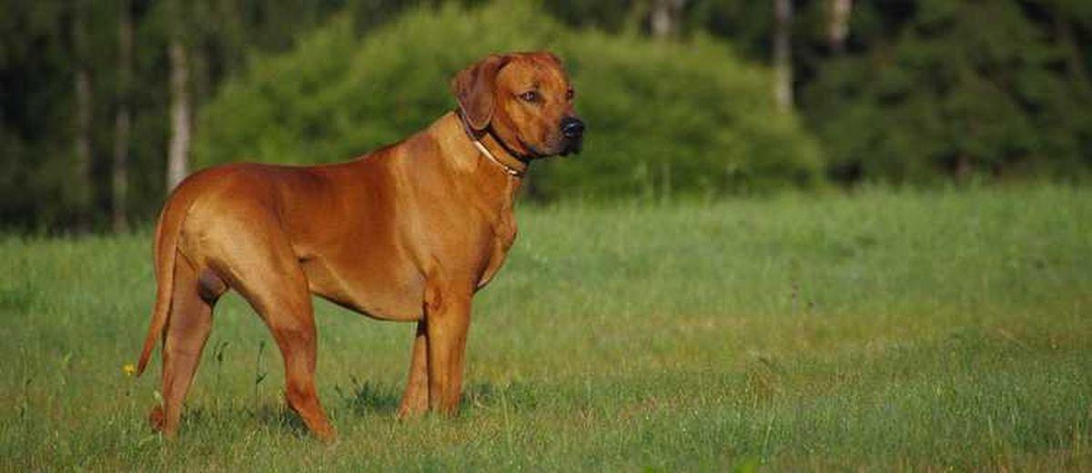 Pup En Herplaatsers Te Koop Rhodesian Ridgeback Startpunthonden