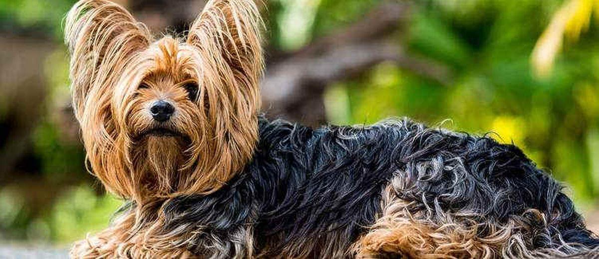 Yorkshire Terrier Karakter Opvoeden Gedrag En Meer Op