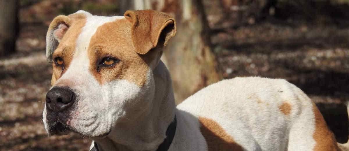 Amerikaanse Pitbull Terrier - Karakter, opvoeden, gedrag en meer op ...