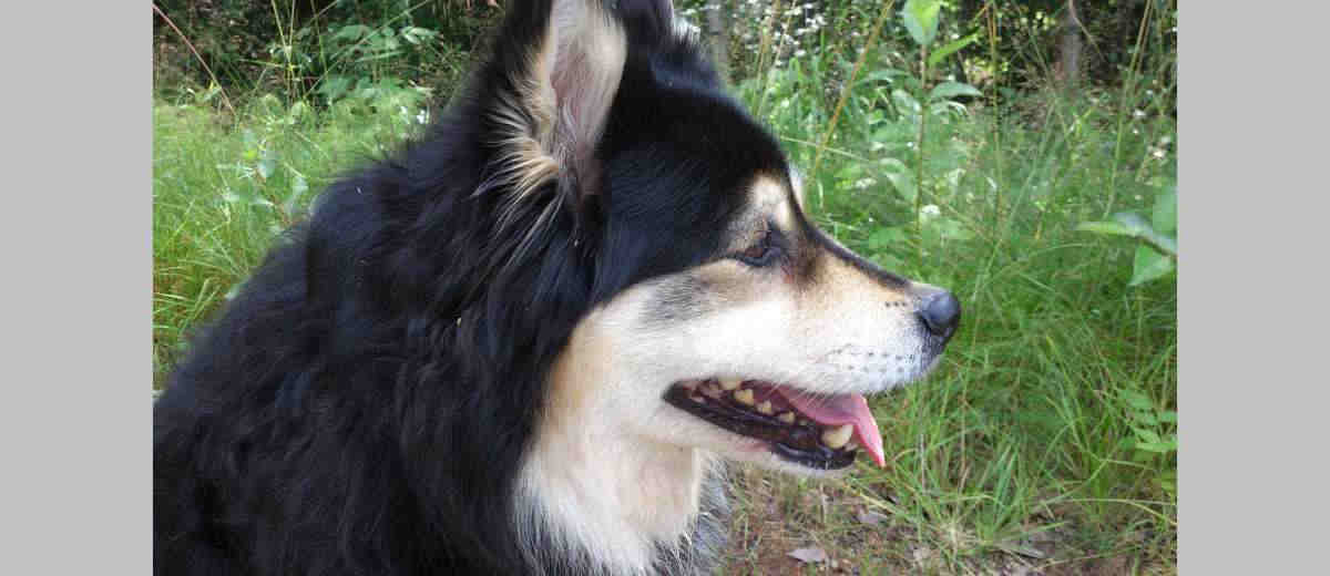finse lappenhond- karakter, opvoeden, gedrag en meer op startpunthonden
