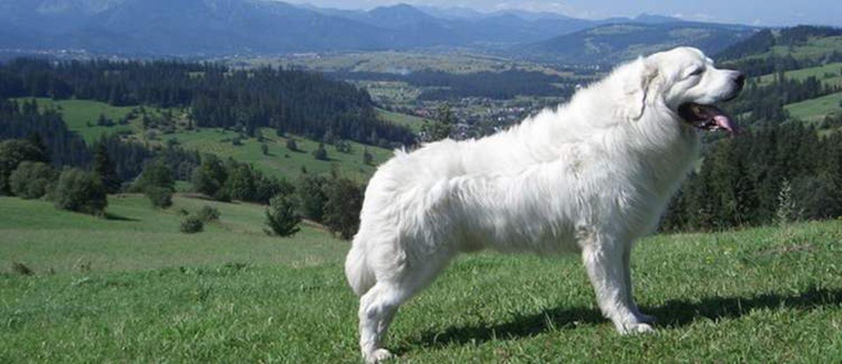 tatra hond- karakter, opvoeden, gedrag en meer op startpunthonden
