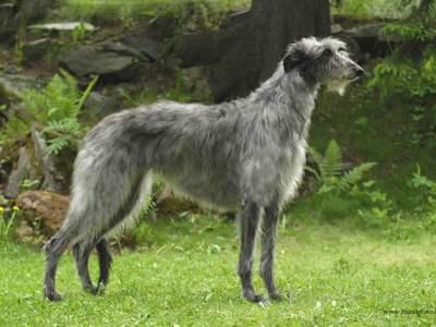 Startpunt Honden actuele informatie over alles wat met ...  Deerhound